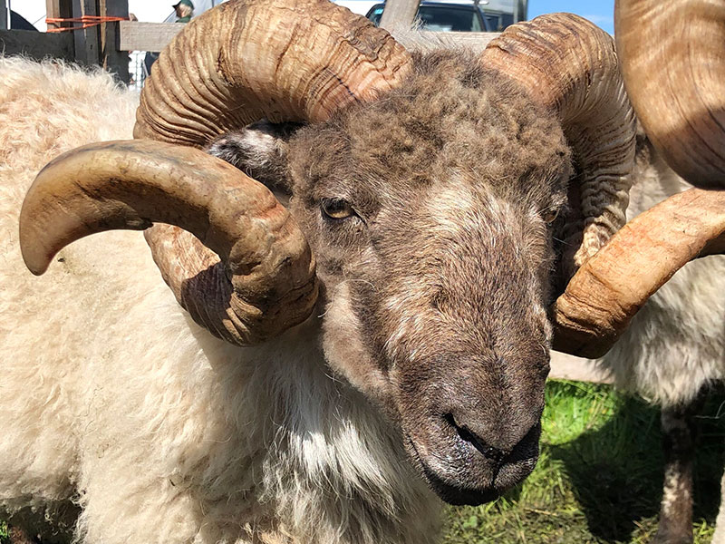 Oswald the Boreray Ram (Photo courtesy of Gam Farm Rare Breeds)