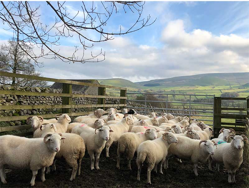 Whitefaced Woodland Sheep in Yorkshire (Photo courtesy of Gam Farm Rare Breeds)